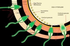 Ein Spermium durchdringt die Eihülle (Schemazeichnung)