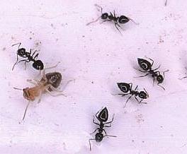 ameisen setzen giftgas gegen termiten ein. Black Bedroom Furniture Sets. Home Design Ideas