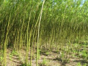 Biosprit Aus Weidenbaumen Starke Winde Steigern Ausbeute