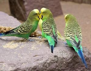 Wellensittiche sind eine in Australien häufig vorkommende Papageienart.