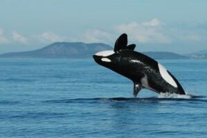 Großer Schwertwal (Orcinus orca), Alter 72 Jahre