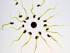 Mit zunehmender Zahl an schnell und ausdauernd beweglichen Spermien steigt die Chance auf Befruchtung der Eizelle.